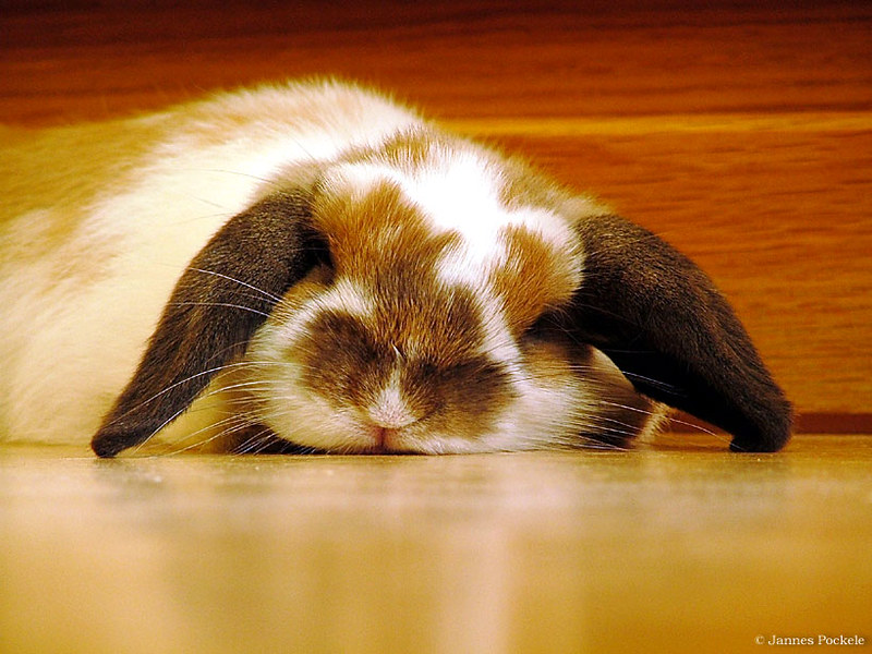Tired Rabbit